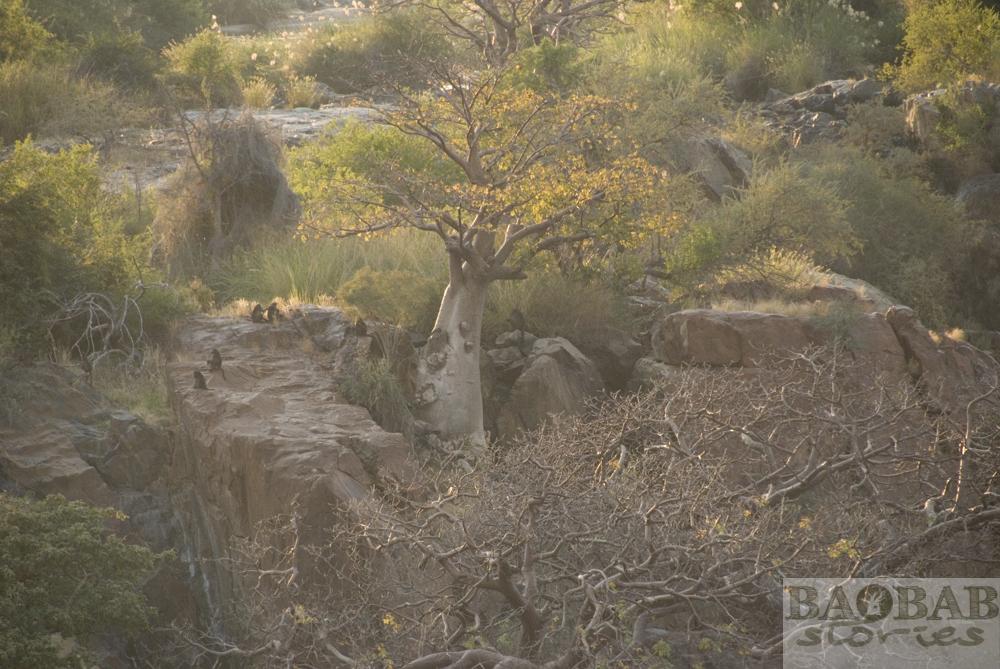 Baobab mit Pavianen, Epupa Falls