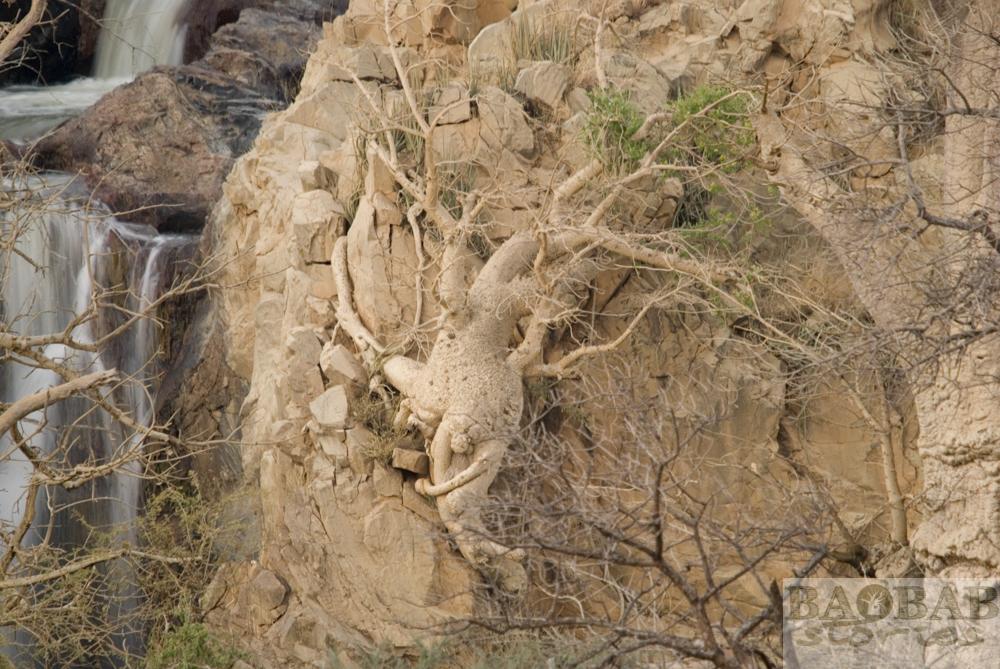 Baum an Felsen, Epupa Falls