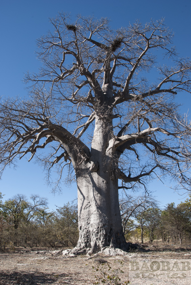 Baobab, Gweta