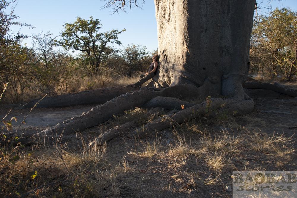 Baobab, Wurzelausschnitt