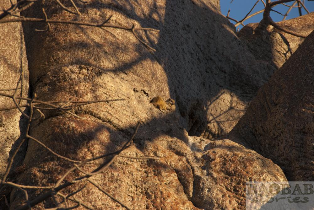 Baobab, Hörnchen, Planet Baobab