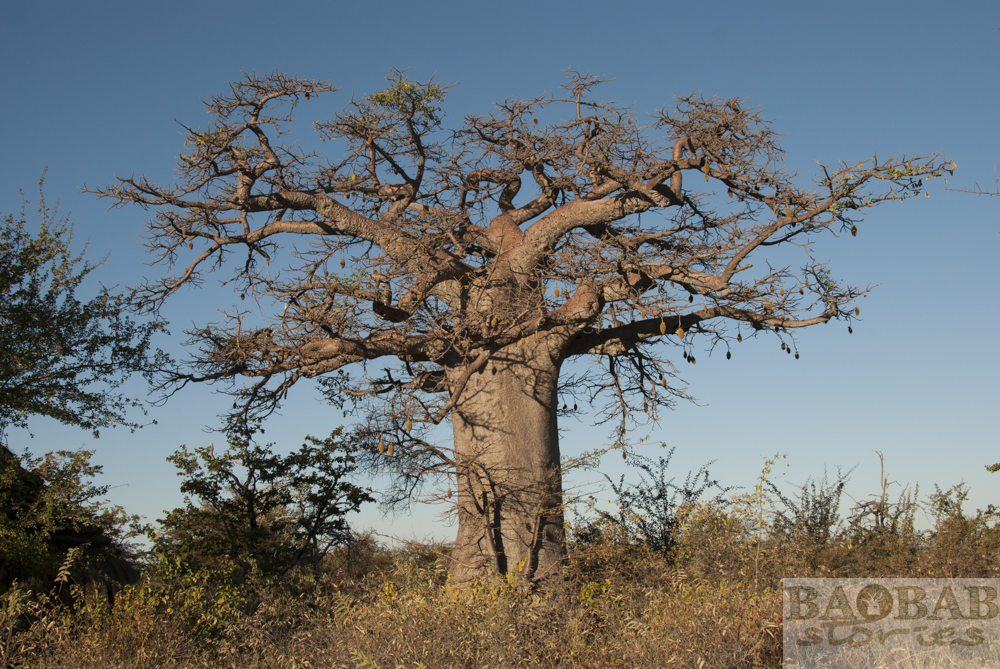 Baobab mit Früchten