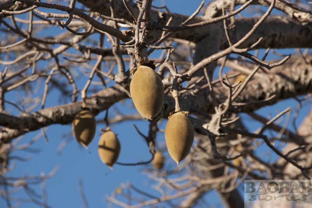 Baobab, Früchte