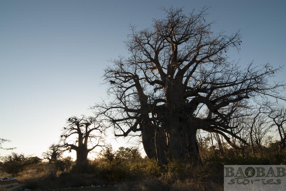 Baobabs, Planet Baobab