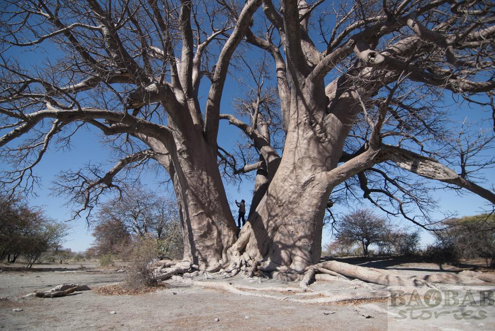 Champman's Baobab