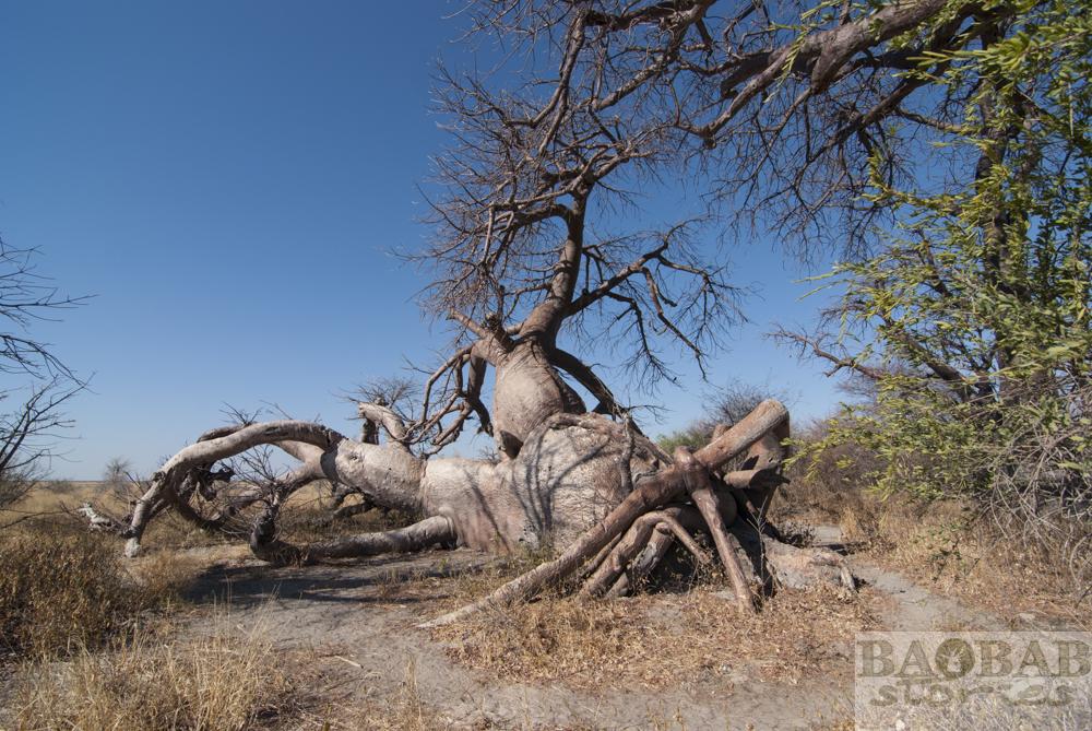 Baines Baobabs, Botswana