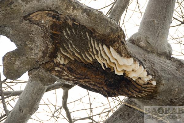 Bienenstock am Baobab, Sambia