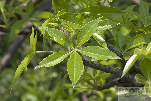 Baobab Blätter