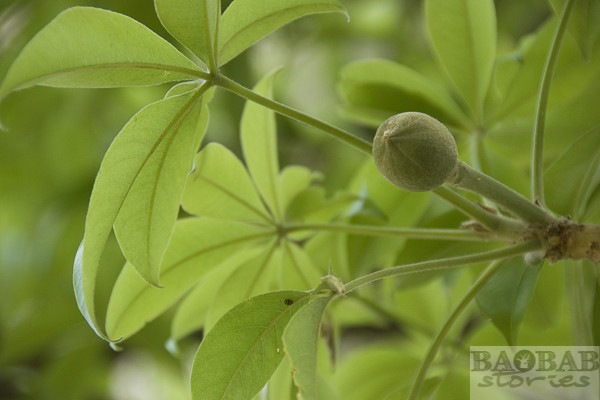 Glencoe Baobab, Knospe