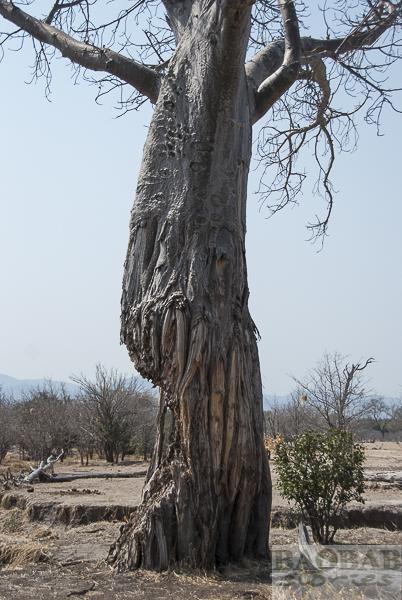 Elefantenschaden am Baobab, Mana Pools