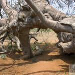 Glencoe Baobab
