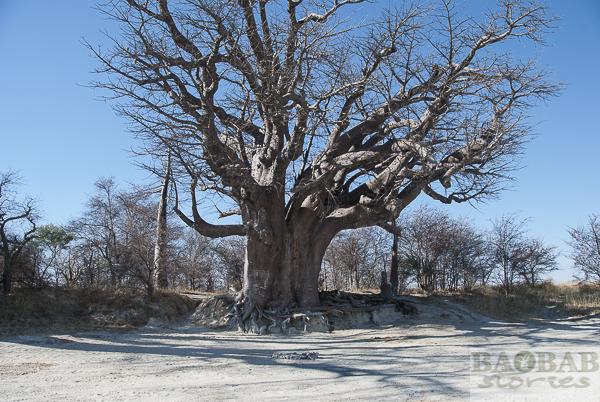 Baines Baobab, Feuerstelle