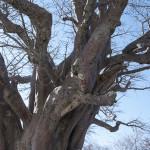 Baines Baobab, Fungus