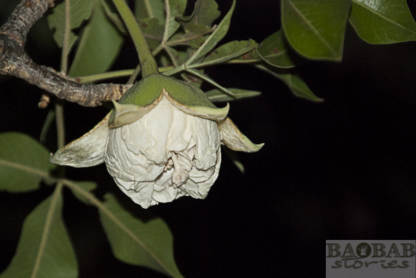 Baobab Knospenöffnung