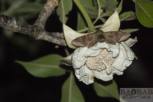 Baobab Blüte, Schwärmer (Motte)