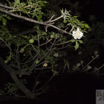 Baobab Blüte, am Baum