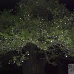 Baobab Blüten, am Baum