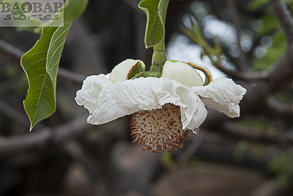 Baobab Blüte