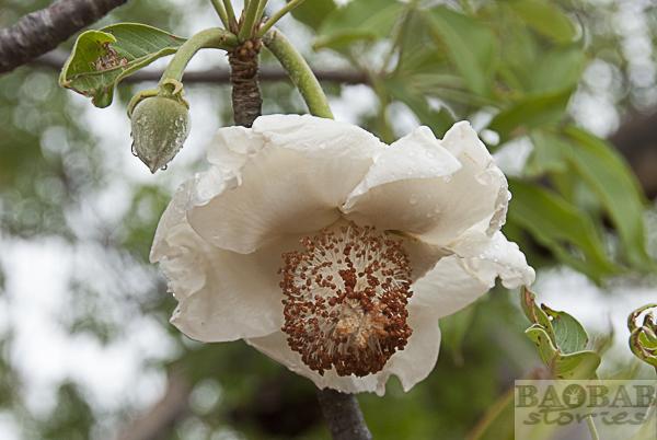 Baobab Blüte und Knospe