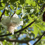 Baobab Blüte am Baum