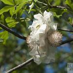 Baobab Doppelblüte