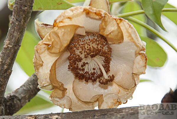 Baobab Blüte, verwelkt
