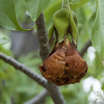 Verwelkte Baobab Blüte am Baum