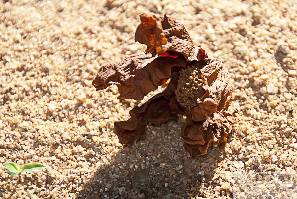 Verwelkte Baobab Blüte, am Boden