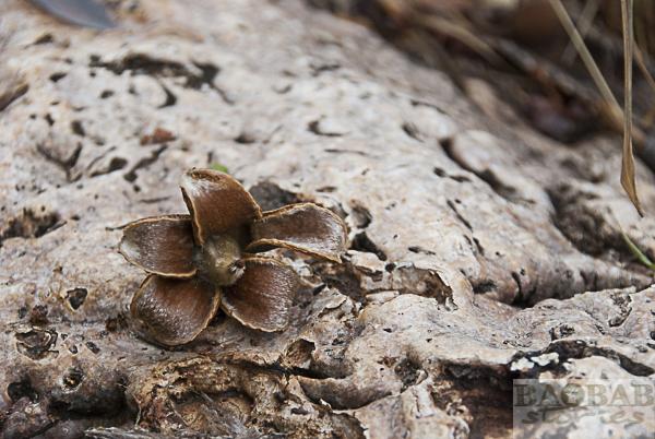 Abgefallener Baobab Fruchtansatz
