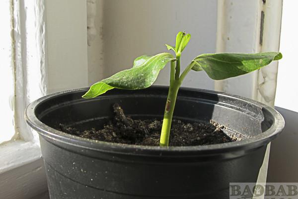 Baobab, 2 Monate alt