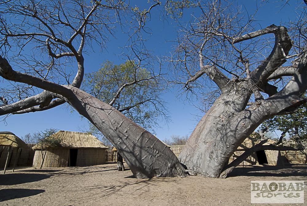 Baobab, Heritage Center, Namusasha, Namibia, Heike Pander