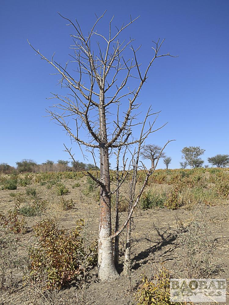 Baobab, Namushasha, Namibia, Heike Pander