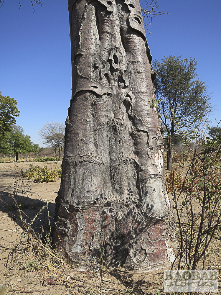 Baobab mit Nutzungsspuren, Namibia, Heike Pander