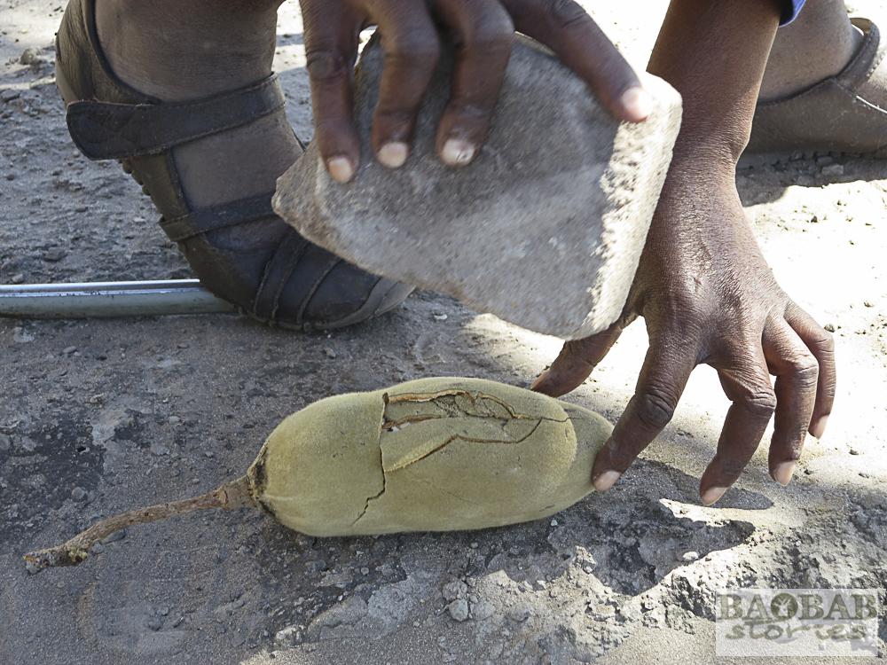 Baobabfrucht wird geöffnet, Namibia, Heike Pander