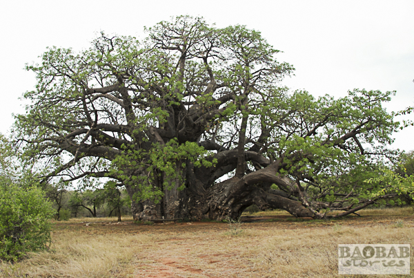 Sagole Big Tree, Baobab