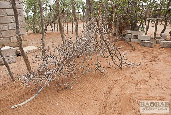 Dornenzaun zum Schutz für den Baobab