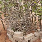 Dornenzaun um Baobabsetzling