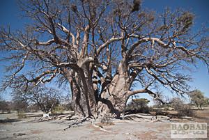 Alter Baobab