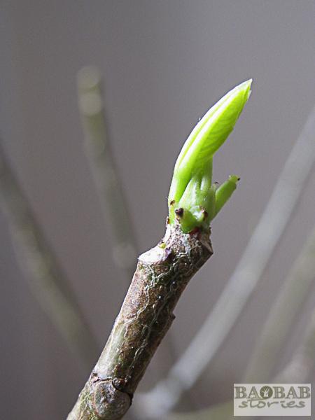 Baobab treibt Blatt aus