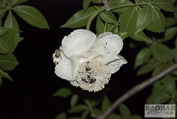 Baobab Blüte mit Käfern