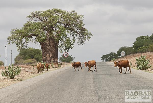 Baobab, Rinder auf der Straße