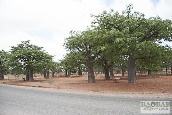 Kleiner Baobab Wald, Limpopo, Südafrika