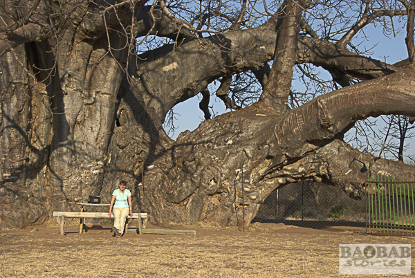 Sagole Big Tree, Ausschnitt