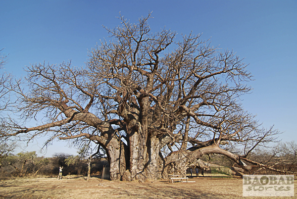 Sagole Big Tree in Limpopo, South Africa