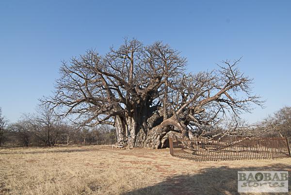 Sagole Big Tree im Südafrikanischen Winter