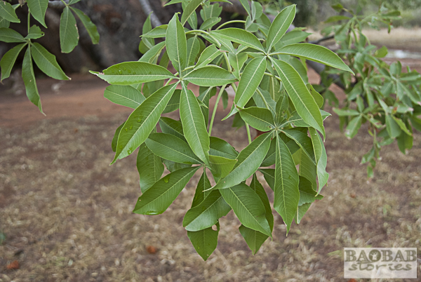 Sagole Big Tree, Blätter