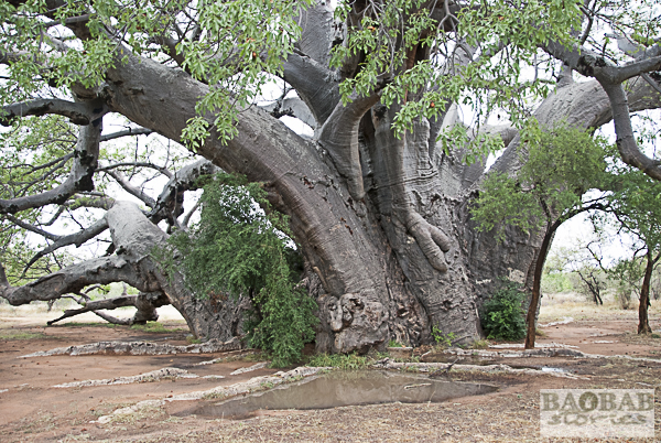 Sagole Big Tree nach dem Regen