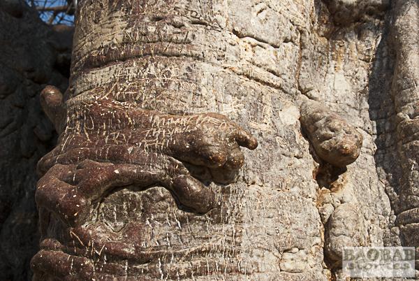 Sagole Big Tree, Detail