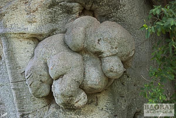Sunland Baobab, Detail