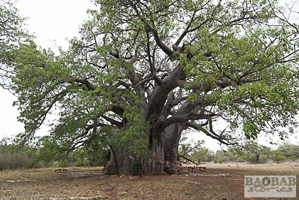 Sagole Big Tree in Venda, South Africa